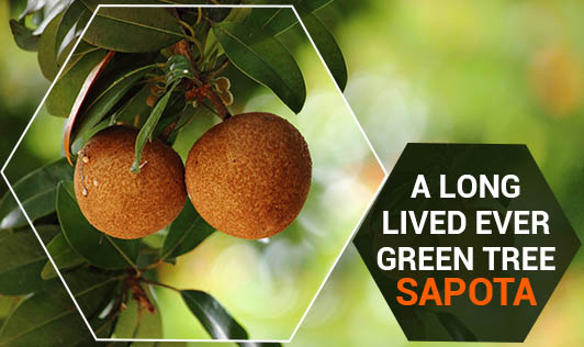 A Long Lived Ever Green Tree - Sapota