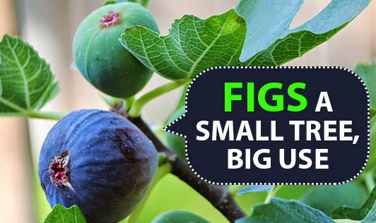 Figs - A Small Tree, Big Use