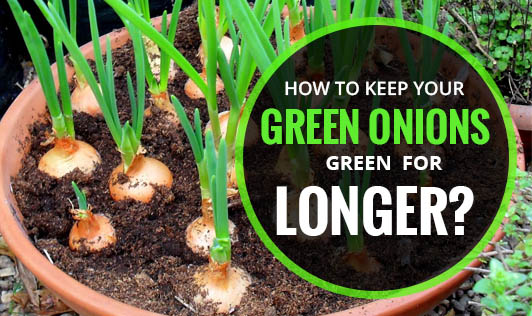 How to Keep Your Green Onions Green for Longer?