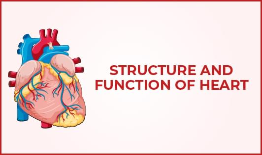 Structure and function of heart